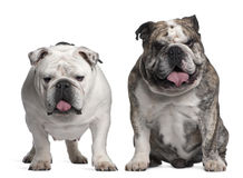 English Bulldogs, 6 years old Royalty Free Stock Photos