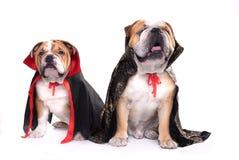 English bulldogs as vampires Stock Photo