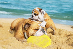 English Bulldogs playing on the beach stock photos