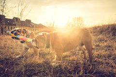 English bulldogs playing outdoor Royalty Free Stock Photography