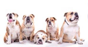 English bulldogs posing Stock Images