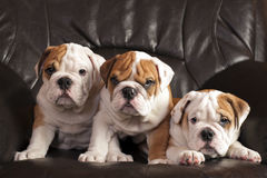 English bulldogs Royalty Free Stock Image