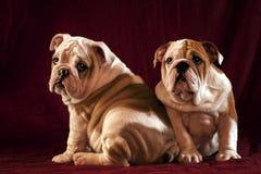 English Bulldogs Royalty Free Stock Photo