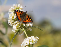 English butterfly on budlia Royalty Free Stock Photos