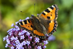 English butterfly on a Flower Stock Image