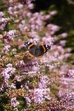English butterfly Red Admiral on heather Royalty Free Stock Photography