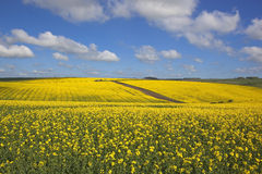 English canola. An old english farm surrounded by bright golden canola fields in springtime under a cloudy blue sky Stock Photography