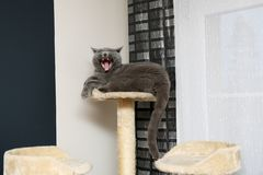 An English cat is resting at his favorite place and yawning showing teeth. An English cat is resting on a scratch-cat and yawns showing sharp fangs royalty free stock photography