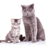 English cats, adult and cub. Two adorable english cats, an adult and a cub looking at the camera and standing on a white background Stock Image