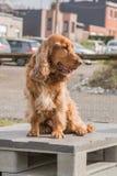 English cocker adult dog stock images