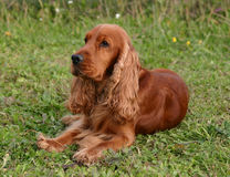 English cocker in the grass Stock Image
