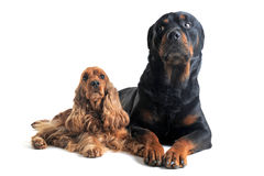 English cocker and rottweiler Royalty Free Stock Photography