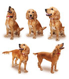 English cocker set with clipping path. English cocker dog set. The path was easy to use Royalty Free Stock Images