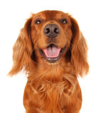 English Cocker Spaniel. This is a portrait of an English working cocker spaniel with his mouth open Royalty Free Stock Photography