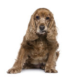 English Cocker Spaniel, 12 years old, sitting. In front of white background stock photography