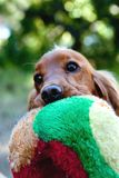English Cocker Spaniel. With a big ball in her mouth royalty free stock photo
