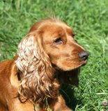 English Cocker Spaniel. At the garden Stock Photo