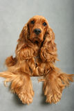English Cocker Spaniel 2 Royalty Free Stock Images