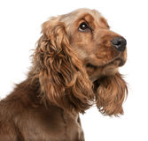 English Cocker Spaniel, 2 years old Royalty Free Stock Images