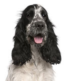English Cocker Spaniel, 2 years old. In front of white background royalty free stock photography