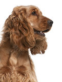 English Cocker Spaniel, 2 years old Stock Photography
