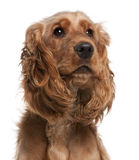English Cocker Spaniel, 2 years old. In front of white background stock photos