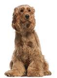 English Cocker Spaniel, 2 years old, sitting Stock Image