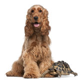 English Cocker Spaniel, 2 years old, and a turtle. English Cocker Spaniel, 2 years old, and a Hermann's tortoise, Testudo hermanni, in front of white background royalty free stock photography