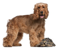 English Cocker Spaniel, 2 years old, and a turtle. English Cocker Spaniel, 2 years old, and a Hermann's tortoise, Testudo hermanni, in front of white background stock photos