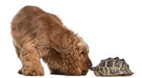 English Cocker Spaniel, 2 years old, and a turtle. English Cocker Spaniel, 2 years old, and a Hermann's tortoise, Testudo hermanni, in front of white background royalty free stock photo