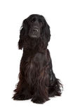 English Cocker Spaniel Stock Photo