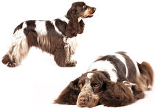 English Cocker Spaniel Stock Images
