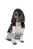 English cocker spaniel Royalty Free Stock Photos