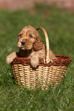English cocker spaniel. In basket Stock Photo