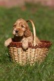 English cocker spaniel. In basket stock photo