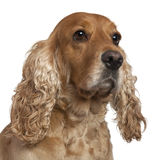 English Cocker Spaniel, 4 years old Royalty Free Stock Images