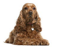 English Cocker Spaniel, 5 years old, lying Royalty Free Stock Images