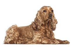 English cocker spaniel, 6 years old, lying Royalty Free Stock Image