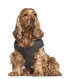 English cocker spaniel, 6 years old, sitting Royalty Free Stock Image