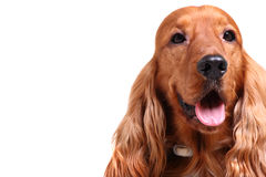 English cocker spaniel. Isolated over white background, copyspace on the left royalty free stock photography