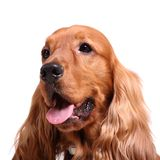 English cocker spaniel Stock Photography
