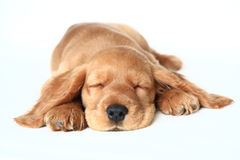 English  cocker spaniel. English Cocker Spaniel puppy in front of a white background sleeping Royalty Free Stock Photo