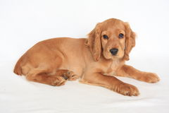 English cocker spaniel. Baby dog Royalty Free Stock Photo