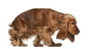 English cocker spaniel, 9 months old, walking Stock Photos