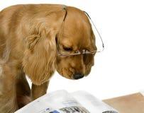 English Cocker Spaniel. Reading book royalty free stock photo