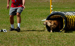 English Cocker Spaniel. A Cocker Spaniel at a dog agility trial exiting the tunnel Royalty Free Stock Photo