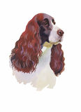 English cocker spaniel Animal dog watercolor illustration isolated on white background vector Royalty Free Stock Photos