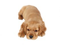 English cocker spaniel baby dog. At studio Stock Photography