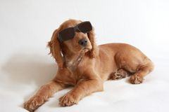 English Cocker Spaniel Baby Dog and sunglasses. Detail of the English cocker spaniel baby dog ,11 weeks old Royalty Free Stock Photos