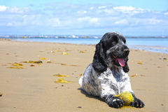 English Cocker Spaniel on the beach. English Cocker Spaniel dog playing with a tennis ball on the beach Stock Photos